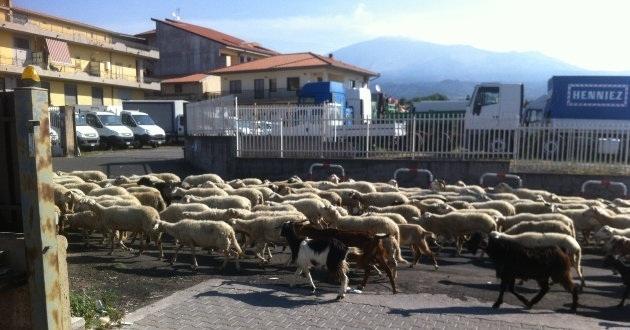 pecore-nelle-strade